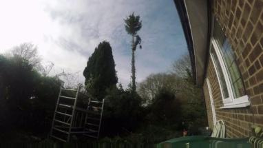 pine tree-1
